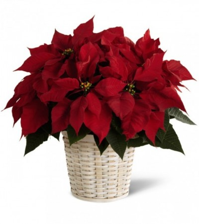 Traditional Christmas Poinsettia